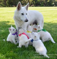 Wicked Training Your German Shepherd Dog Ideas. Mind Blowing Training Your German Shepherd Dog Ideas. Dog Training Methods, Basic Dog Training, Training Dogs, Sweet Dogs, Puppy Obedience Training, Positive Dog Training, Dog Activities, West Highland Terrier, German Shepherd Puppies