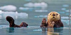 Una nutria marina