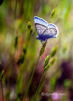 Fender's Blue Butterfly - southern Oregon. Once thought to be extinct, the Fender's blue butterfly was rediscovered in the Willamette Valley in 1989.