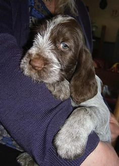 if you're looking for the perfect puppy- get an italian spinone! they are seriously the sweetest, most gentle and loving big dogs!