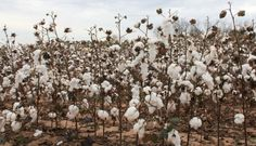 cotton plant - AOL Image Search Results
