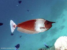 My Maldives, by Andrew ( Harry ) Harrison  ·   ·  Spotted Unicornfish. Naso brevirostris.