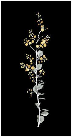 Acacia Pyrifolia Lim