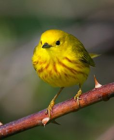 yellow warbler bird call