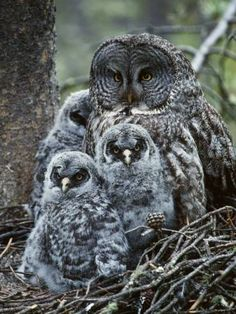 Great Grey Owl & Her Chicks <3