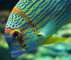 tropical fish blue and orange - Google Search