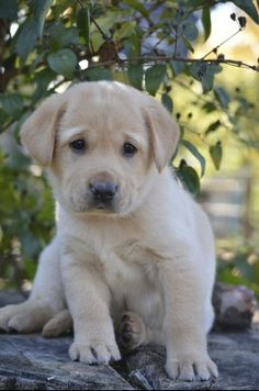 cutie pie lab puppy. www.arkansaslabs.com - yellow labrador for sale in Arkansas