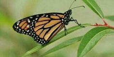 Batterfly