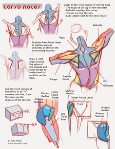 Exceptional Drawing The Human Figure Ideas. Staggering Drawing The Human Figure Ideas. Anatomy Back, Muscle Anatomy, Anatomy Study, Body Anatomy, Anatomy Reference, Drawing Reference, Draw Character, Comic Character, Drawing Tutorials