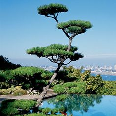"""Photography: Catriona Tudor Erler  / Coastal Living / A bonsai-like Japanese black pine helps give the garden its Asian feel. Having tended the private gardens on this two-acre vantage point for the past 25 years, Tom Helm says his philosophy is """"to attempt to amuse the eye without detracting from the view."""""""