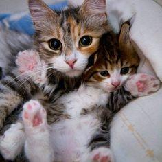 Cuddling kitties By: Unknown #cute #cuteanimal #adorable #adorableanimal #animals #babyanimals #babyanimals #cat #cats #catsofinstagram #kitty #kitten #kittens #cats #animal #pet