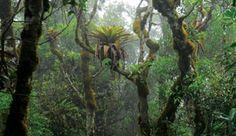 QUINTAIS IMORTAIS: Estudo indica que árvores da serra da Mantiqueira captam água pelas folhas e a transportam para o solo
