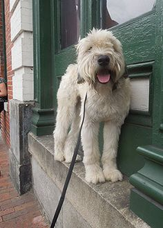 The Wonderful Wheaten after training with Follow Me Dog