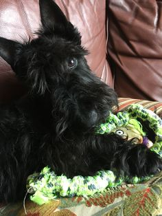 Scottish Terrier Puppy, Terrier Puppies, Fluffy Animals, Animals And Pets, Cute Animals, Dog Pictures, Animal Pictures, Cute Puppies, Cute Dogs