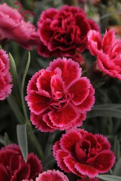 "Dianthus 'Everlast Burgundy Blush' - Release date 2014. Spectacular burgundy-red double flowers with a pink edge bloom all summer long. Very fragrant. Height 10-12"". Zones 4-10"