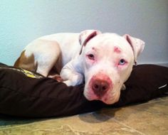 #WASHINGTON ~ Izzy is an #adoptable Pit Bull Terrier dog in #Bellingham. As you can see in the pictures I have had a rough start in my life. But do not let that scare you! I am a very sweet girl who just loves to cuddle and snuggle. You see the vet says the marks on my face might scar, but my heart has not. You see, I was rescued by this wonderful group from a place where there were a LOT of dogs being kept in crates the majority of the time. with Happy Tails Happy Homes