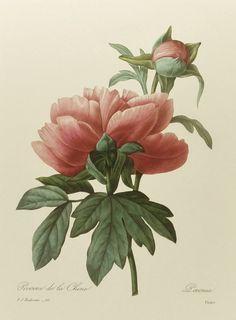Home Botanical Print, Vintage Tree Peony Art Print, Redoute No. 101