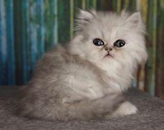 CHRISTMAS KITENS CFA Silver Chinchilla  Persians Kittens