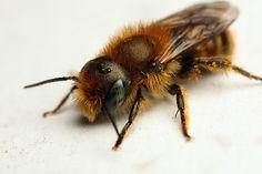 Mason bee Osmia caerulescens