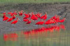 Foto guará (Eudocimus ruber) por Ciro Albano | Wiki Aves - A Enciclopédia das Aves do Brasil
