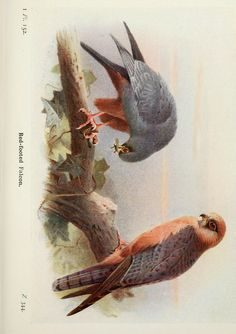 Red-footed falcon. The birds of the British Isles and their eggs  London ;F. Warne,1919.  Biodiversitylibrary. Biodivlibrary. BHL. Biodiversity Heritage Library