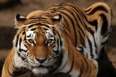 Siberian tiger, also known as Panthera tigris altaica Big House Cats, Big Cats, Cats And Kittens, Panthera Tigris Altaica, Cat Species, Siberian Tiger, Cat Costumes, Warrior Cats, Domestic Cat