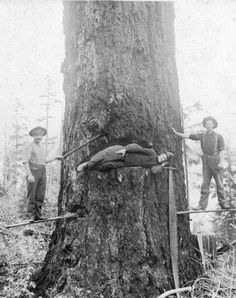 Archive Photos of the Day: Tree Felling Using Springboards - Vancouver Blog Miss604 » Vancouver Blog Miss604