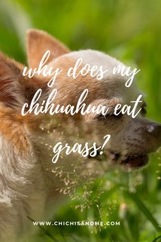 Dogs do all kinds of things that we mere humans don't understand. Have you ever wondered? #chihuahuacare, #chihuahuapuppies, #seniorchihuahua, #chihuahuadogs, #chihuahuamix, #chihuahuafacts, #chihuahuaarticles, #chihuahuahelp, #chiwawa, #chihuahuahealthissues, #chihuahuaproblems, #chihuahuawebsite, #chihuahuabehaviorissues #chi, #chihuahuastory, #littledogs, #tinydogs, #minidogs Chihuahua Facts, Chiwawa, Dog Eating, Behavior, Sick, Dogs, Animals, Behance, Animales
