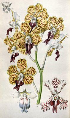 Vanda tricolor. Houtte, L. van, Flore des serres et des jardin de l'Europe, vol. 6 (1850-1851)