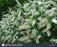 Image result for white flowering hebe Evergreen Shrubs, Image Types, Google Images, Herbs, Stock Photos, Illustration, Garden Ideas, Herb