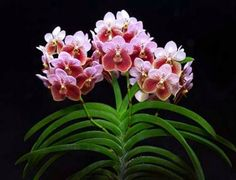The waling-waling (Euanthe sanderiana, originally named Vanda sanderiana) is so beautiful it is considered the Philippines' Queen of Flowers. The species is endemic to Mindanao in the Philippines and comes in pink and white forms. It belongs to the orchid family.        http://johnmcnamara.hubpages.com/hub/Top-10-Most-Beautiful-Flowers-in-the-World#