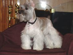 This is a teacup schnauzer