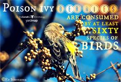 """From research we know at least 60 species of birds consume poison ivy berries. They are consumed so quickly that many people have been heard to remark, """"I didn't even know poison ivy had berries!"""""""