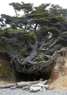 Tree Root Cave, Big Sur, California photo via abasa I love how this tree still holds it self high even though the soil has been washed away. Like this tree, no matter how many times the rug is pulled out from under me I will always stand tall and proud. Unique Trees, Old Trees, Tree Roots, Tree Forest, Cedar Forest, Forest Path, Nature Tree, Tree Of Life, Amazing Nature