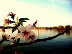 Cherry Blossom and Washington Monument in DC