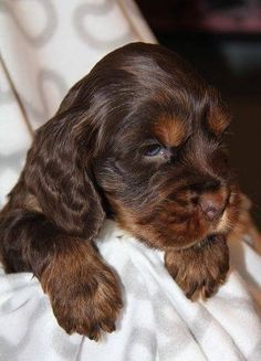 I want this cocker spaniel!