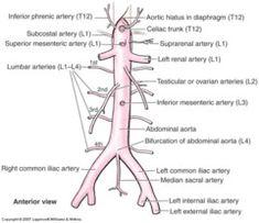 Main arterial branches of the abdominal aorta