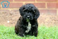 Oakland | Cockapoo Puppy For Sale | Keystone Puppies