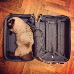 The travelling-cat