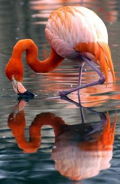 Flamingos aren't born pink. They get their color from the Brine shrimp they eat. Brine shrimp have a organic compound called beta carotene that is responsible for turning the feathers of the flamingo pink. It takes a couple years from a young flamingos to change from white to pink.