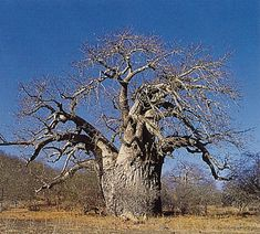 Beautiful Baobab tree in Africa.the trunk collects and holds the rain water to sustain itself during draught season. Le Baobab, Baobab Tree, Out Of Africa, West Africa, South Africa, Weird Trees, Tree Artwork, Tree Images, Old Trees