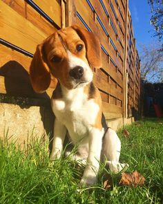 What's that noise ? #Beagle