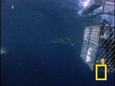 great white shark educational video