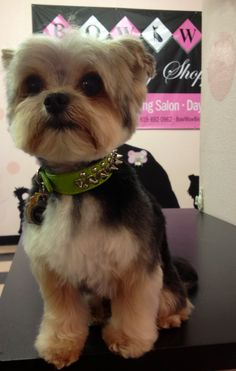Dog grooming for Yorkies at Bow Wow Beauty Shoppe, San Diego, CA.