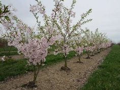 PRUNUS 'ACCOLADE' | Willaert Boomkwekerij Prunus, Gardens, Peach