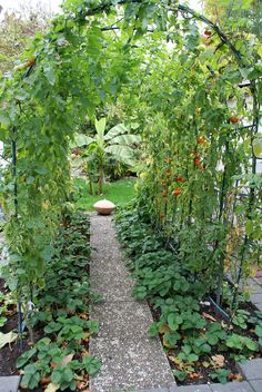 Bad Dürkheim, Tomatenlaube in einem Privatgarten (tomato p… | Flickr