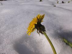 giallo sulla neve - oggi la situazione era già diversa: il sole brillava sulla neve ma poveri i fiori! le foto migliori le faccio sempre mentre aspetto mia moglie al lavoro, devo andarci più spesso...