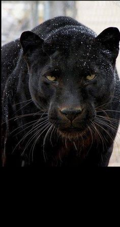 Magnificent..! , Panther from Iryna