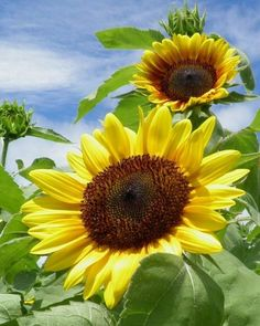 ༺♡༻ FABULOUS ༺♡༻ ~ I fell in love with the color scheme of blue and yellow after a trip to France and seeing acres of sunflowers with a bright blue sky as a backdrop. Sunflower Garden, Sunflower Art, Sunflower Fields, Sunflowers And Daisies, Yellow Flowers, Poppies, Sun Flowers, Happy Flowers, Beautiful Flowers