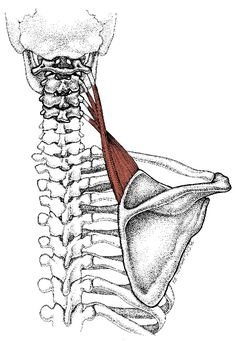 This muscle can cause lots of neck pain and upper back pain on the spine side of your shoulder blade.--Sometimes I trigger this muscle after doing clean and jerk and shoulder workouts. Here are a few suggestions for easing pain. Upper Back Pain, Neck And Back Pain, Neck Pain, Sport Fitness, Health Fitness, Reiki, Scapula, Shoulder Muscles, Shoulder Stretches